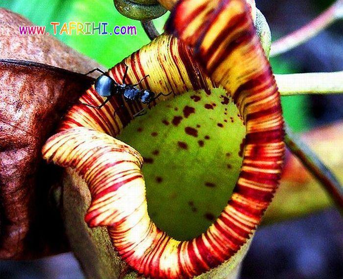 عکس هایی از گیاهان گوشتخوار(حشره خوار)