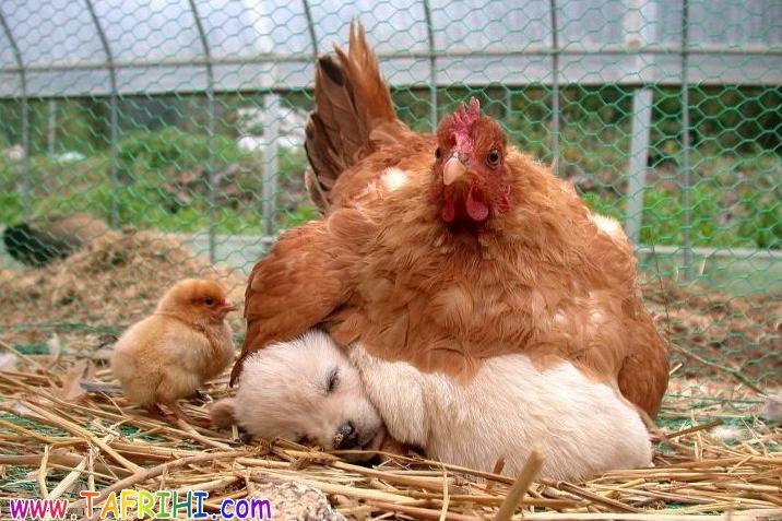 محبت مادرانه مرغ به یک سگ (عکس)